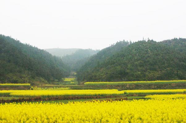 佛國寺山下的油麻菜田