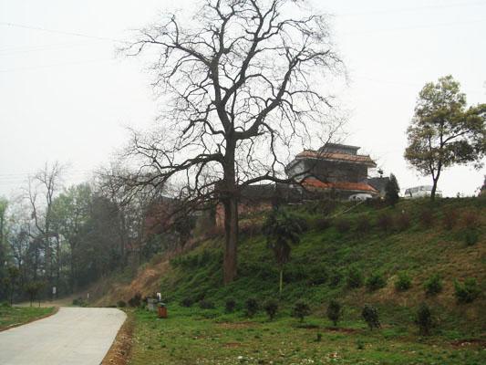 與仁瑞寺共興衰的千年槐樹。