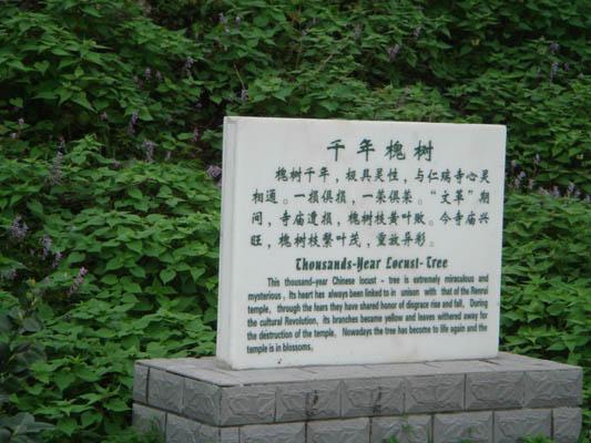 槐樹千年,極具靈性,與仁瑞寺心靈相通。
